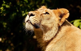 Lioness look up