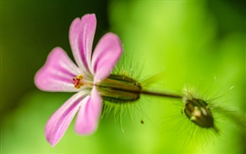 Preview wallpaper Little pink flower macro photography, green background