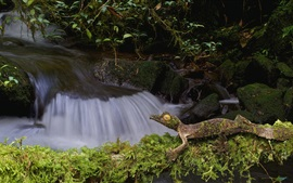 Preview wallpaper Lizard, gecko, stream, moss