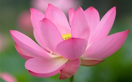 Preview wallpaper Lotus, pink flower, macro photography