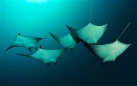 预览壁纸 美拉尼西亚,所罗门群岛,巨型魔鬼鱼