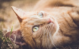 Aperçu fond d'écran Orange chat repos, cherchez