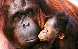 Preview wallpaper Orangutan female and baby