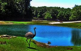 Avestruz, lagoa, zoológico