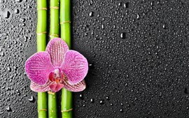 Aperçu fond d'écran Phalaenopsis, bambou, gouttes d'eau