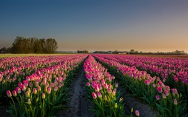 Preview wallpaper Pink flowers field, tulips, Netherlands