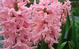 Pink hyacinth flowers, green leaves
