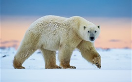 Polar bear walk, snow