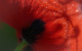 Preview wallpaper Poppy flower back view, many water drops