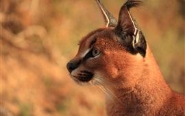 Preview wallpaper Predator, wild cat, lynx, face