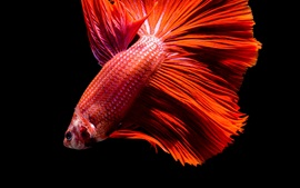 Preview wallpaper Red fish, black background