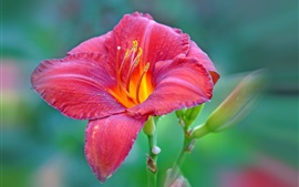 Preview wallpaper Red lily flower macro photography