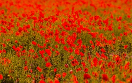 Preview wallpaper Red poppy flowers field, blurry