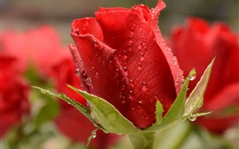 Red rose, dew, macro photography