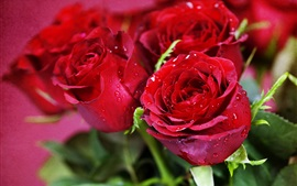 Preview wallpaper Red roses, dew, flowers