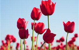 Preview wallpaper Red tulips, flowers, sky