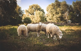 Preview wallpaper Sheep, wool, grass, trees