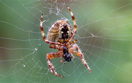 Aranha, web, close-up de insetos