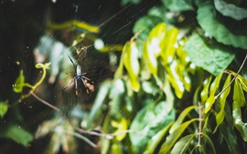 Preview wallpaper Spider, web, leaves