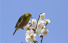 Preview wallpaper Spring, white flowers, bird