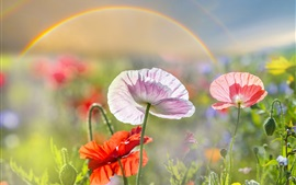 Preview wallpaper Summer, poppies, pink and red flowers, rainbow