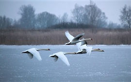 Swans flying, river