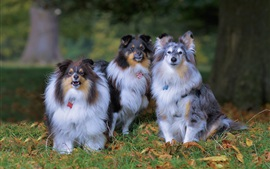 Preview wallpaper Three dogs, Shetland sheepdog