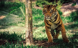 Preview wallpaper Tiger under tree, grass