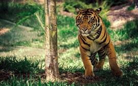 Tigre sous l'arbre, l'herbe