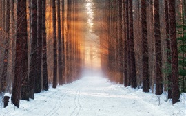 Trees, forest, snow, sunshine, winter