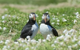 Two birds, puffin, flowers