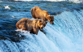 Two brown bears hunting fish, waterfall, river