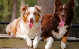 Dos perros, pastor australiano