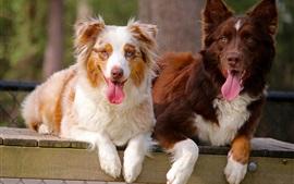 Dois cães, pastor australiano