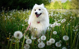 Preview wallpaper White dog, dandelions flowers, summer