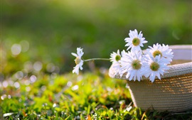 Preview wallpaper White flowers, chamomile, hat, grass
