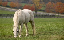 White horse eat grass