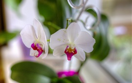 White orchids, petals, blurry background