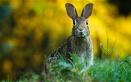 Preview wallpaper Wild rabbit, look, grass