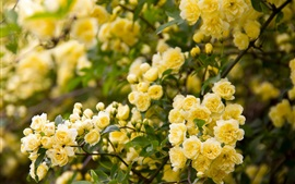 Preview wallpaper Yellow rose flowers, garden