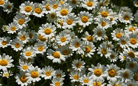 Preview wallpaper A lot of white chamomile flowers