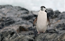 Antártica, penguin relaxing, rocks, snow