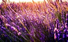Preview wallpaper Beautiful lavender flowers, sunshine