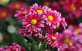 Красивые розовые хризантемы