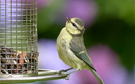 Preview wallpaper Bird look at birdcage