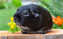 Preview wallpaper Black guinea pig, cute pet