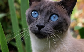 Blue eyes cat, black face