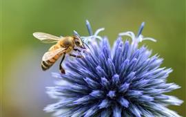 Flor azul, pétalas de pin, abelha