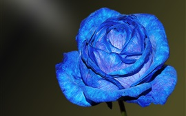 Preview wallpaper Blue petals rose close-up