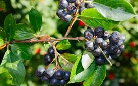 Blueberry tree, fruit, leaves